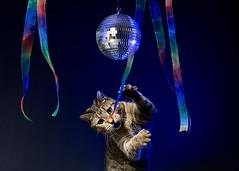 'Disco Candy' (Jonathan Casey) Tags: cat tabby dancing disco ball caturday night fever casey jonathan photography strobe studio nikon d850 sigma 40mm f14 art