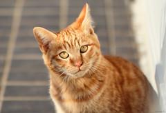 goose (Christine_S.) Tags: gingercat tabby canoneosm5 ef100mmf28l neko chat japan flerken captainmarvel kitten kitty portrait coth5 straycat mcu marvelcomics