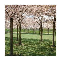 Springtime Memories (Thomas Listl) Tags: thomaslistl color spring blossom grass park green trees nature square copenhagen cph denmark garden beauty mood gentle friendly positivevibrations