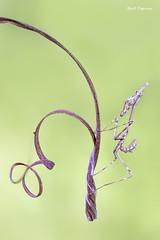 Empusa pennata (Raul Espino) Tags: 2019 canon100mml canon6dmarkii empusapennata heliconfbtube macro macrofotografia natural naturaleza sevilla insectos