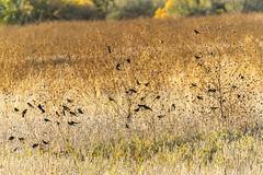 BDA Shots - 10/27/19 (phicks172) Tags: bdashots102719 dsc1692edit bosquedelapache nature brewerblackbird redwingedblackbird bird blackbird nm usa
