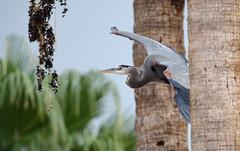Heron: Landing through palm trees ... (rambokemp) Tags: heron phoenixarizona birdinflight birdinfligh bif palm tree sky wildlife wilderness papago park canoneos1dxmarkii