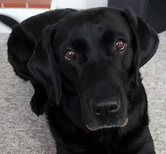Beautiful soulful eyes (Ingrid0804) Tags: blaclab labrador portraitofablacklabrador retriever sweet gentle soulful