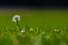 Standing out - Dandelion (Taraxacum officinale) (Minder Cheng) Tags: dandelion plant laspalmaspark