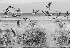 Black-Headed Gulls disturbed by waves... Ile-Tudy, Finistère, France. 2019/11. (joelgambrelle) Tags: ocean france monochrome bretagne larusridibundus finistère mouettes mouetterieuse nikond500 îletudy blackheadedgull