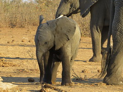 """Sportsday!  """" This is not working, I want a real rugby-bal! """"  ( Baby Elephant )  ( Baba Olifantjie ) (Pixi2011) Tags: elephants krugernationalpark southafrica africa wildlifeafrica wildlife wildanimals animals nature"""