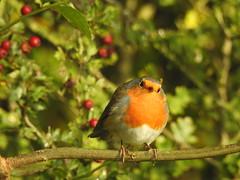 Robin (blue33hibiscus) Tags: bird robin hawthorn berry langfordlakes naturereserve wiltshire