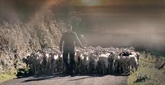Laborde (Les Baronnies, Hautes-Pyrénées, Fr) – L'heure de rentrer...… (caminanteK) Tags: lebaronnies hautespyrénées laborde troupeau village pyrénéespirineos montagne pastoralisme fabuleuse