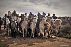 Abrivade Saintes Maries de la Mer (Dominique Dufour) Tags: abrivade abrivados chevaux camargue taureau gardian gardians nature équestre camarguais dominiquedufourphoto dominiquedufourflickr domdufour sigma177028 nikond300s saintesmariesdelamer