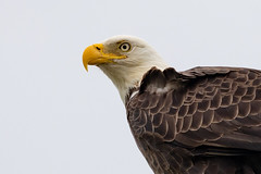 Keeping Watch (irelaia) Tags: bald eagle joe overstreet road florida wild bird keeping watch america wintering