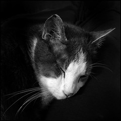 Beatific (Timothy Valentine) Tags: home portrait blackandwhite cat happycaturday whiskers 1119 quinnomannion datesyearss 2019 eastbridgewater massachusetts unitedstatesofamerica