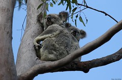 Koala (Phascolarctos cinereus) (Rosa Gamboias) Tags: koala phascolarctoscinereus coala mamíferomarsupial phascolarctidae endêmico australia endemictoaustralia emviadeextinção funcionalmenteextintos diprotodontia phascolarctos marsupials pussikarhu mammals mamíferos animais animals wildlife vidaselvagem natureza naturaleza nature endangered bulockyrestpark lakesamsonvale brisbane