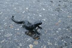 Der Alpensalamander - Salamandra atra - freut sich über den Dauerregen