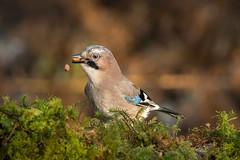 'Oops dropped one!' (cazalegg) Tags: jay birds wildlife nature scotland galloway nikon