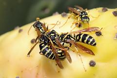 Polistes gallicus Cluster (Roy Lowry) Tags: paperwasp polistesgallicus marsaxlokk wasp birzebbuga