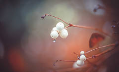 Snowberries (Dhina A) Tags: sony a7rii ilce7rm2 a7r2 a7r carl zeiss jena kipronar 70mm f14 kipronar70mmf14 vintage cine 16mm projection projector lens petzval modified artistic 2groups 4elements swirl swirly smooth bokeh manualfocus snowberry snow berries autumn