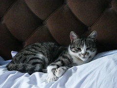 Hamish waking up on spare bed 2 (Artemis1947) Tags: sussex westfield heathlands cats hamish