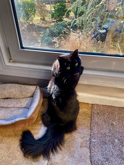 Watching the birds! (ineedathis, Everyday I get up, it's a great day!) Tags: ziggy boy male cat feline family animals iphone11 apple watching garden window furry black