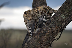 Fig (andy_harris62) Tags: leopard fig wild wildlifephotography africa kenya masaimaranorthernconservancy kicheche kichechecamps nature naturephotography nikond850 nikkor300mmf28 outdoors outside