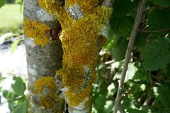 Gewöhnliche Gelbflechte - Xanthoria parietina