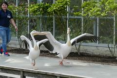 P1120177 (jinkemoole) Tags: ペリカン モモイロペリカン 神戸 神戸どうぶつ王国 鳥 animal whitepelican