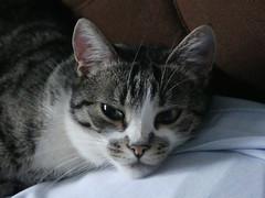Hamish head closeup (Artemis1947) Tags: sussex westfield heathlands cats hamish