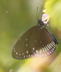 Common Crow: Euploea Core