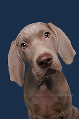 Curious Weimaraner puppy (Wieselblitz) Tags: dog dogs dogphotographer dogphotography dogportrait doginthestudio dogsonality elkevogelsang editorialdogphotographer editorialdogphotography editorialphotography studio studioportrait studiodogportrait studiodog pet pets petphotography petportrait petphotographer portrait portraitdog commercialpetphotographer commercialdogphotographer commercialphotography commercialdogphotography commercialpetphotography wieselblitz