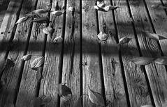 fall (masamiy21) Tags: adonalrodinal oriental newseagull100 leicam3 jupiter8 monochrome landscape