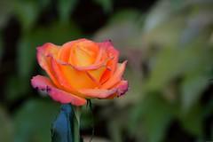 Rose d'automne (Olivier Simard Photographie) Tags: automne parcdeschoppenwihr alsace llva couleurs colmar bennwihr jaune flore rose bokeh fleur orange pétales