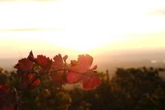 feuille de vigne (jpto_55) Tags: feuille vigne contrejour automne proxi xt20 fuji fujifilm fuji35mmf2 chateauneufdupape provence vaucluse france