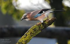 Vlaamse Gaai (gijs leusink1) Tags: vlaamse gaai vogels birds gijsleusink gijsleusinkfotografie nikonnaturephotography nikon nikond500 d500 genemuiden natuur natuurfotografie nikonflickraward