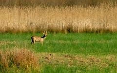 Chevreuil. (Claudia Sc.) Tags: chevreuil animal faune sauvage bayonne plainedansot aquitaine pyrénéesatlantiques