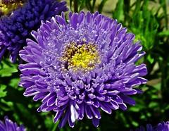 Astern (fleckchen) Tags: astern blüten blumen garten flowers flower asteraceae korbblütler zierpflanze zierpflanzen pflanze pflanzen