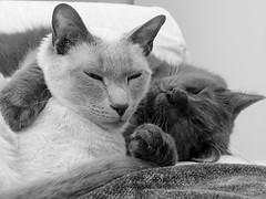 Thai and Pal in B&W (SL&S) Tags: happycaturday blackwhite cats