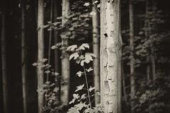 (kotmariusz) Tags: drzewa las natura monochrom monochromatic trees nature poland