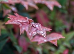 Autumn Red. (Omygodtom) Tags: macro red waterdrops raindrop leaves autumn november bokeh dof perspective vr d7100 digital nikon70300mmvrlens