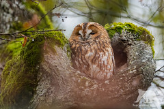 Tawny Owl (fascinationwildlife) Tags: animal bird birding wi wild wildlife winter wildlifephotography wildtiere wilde nature natur naturephotography naturfotografie park schloss nymphenburg munich münchen bayern bavaria deutschland germany tree forest tawny owl eule kauz waldkauz vogel tiere nikon nikonphotography
