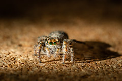 Look into my eyes (Steffen Walther) Tags: fotografjena steffenwalther closeup eyeballs eyes jumpspider macro spider spinne springspinne salticidae green emerald canon100d canon100mm28lismacro canon100mmlismacro animal small light brown yellow hair fur makro nature