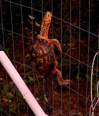 Blind Turtle Climbs Fence (hardmile) Tags: wildlife nature beauty magic outdoors forest water animals turtle turtles animalrescue blind kindness
