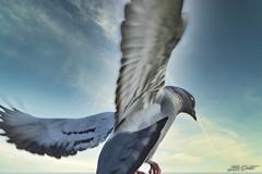 Pigeon_4748 (Luc Barré) Tags: pigeon flight vol pigeons vols ciel sky oiseau oiseaux