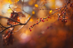 Morning lights (Pásztor András) Tags: nature bush red berry leaf autumn colors mood peaceful ligts sun sunrise bokeh bubble sky leafs trees forest morning atmosphere yellow 50mm f18 wide aperture dof dslr nikon d700 hungary andras pasztor photography