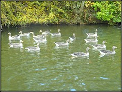 A  Gaggle of Geese .. (** Janets Photos **) Tags: uk hull eastyorkshire hullseastpark publicparks lakes geese waterf nature