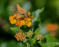 A Little Fiery ........Skipper (ACEZandEIGHTZ) Tags: flowers closeup nectaring macro nikond3200 butterfly fieryskipper nature hylephilaphyleus lantana flyinginsect wings winged bokeh orange green coth5 coth alittlebeauty sunrays5
