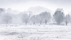 Un parfum d'hiver (Bertrand Thiéfaine) Tags: campagne matin brume brouillard champtoceaux maineetloire arbres léger silhouette prairie froid bleu fraîcheur gelée monochrome