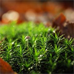 so small............ (atsjebosma) Tags: macro bokeh paddo small klein wood bos moss mos leaves bladeren atsjebosma landgoednienoord countryestatenienoord leek groningen nederland thenetherlands herfst autumn november 2019 ngc coth5 npc