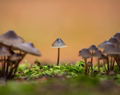 Happiness is standing out from the crowd.... (Lesley Danford) Tags: toadstool fungi fungus nature woodland uk autumn mycena