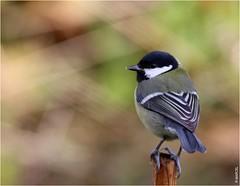 Mésange charbonnière (boblecram) Tags: mésange charbonnière parus major bird oiseau passereau paridae