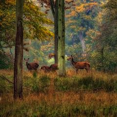 Reed deer in Dyrhaven (ibjfoto) Tags: danmark deer denmark dyrehaven forest ibjensennatur ibjfoto sealand sjælland woodland rådyr skov