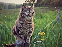 Pole postion (Zèè) Tags: cat chat tabby tiggy outdoor katze kitty